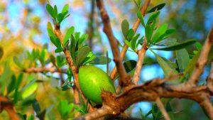 HEATTECH: pianta argan